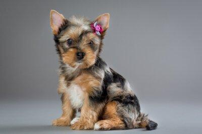 Bild Welpe Yorkshire-Terrier