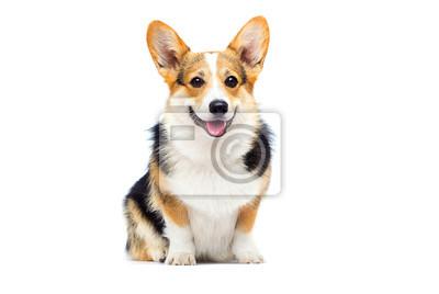 Bild welsh corgi breed dog sitting on a white background