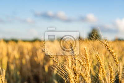 Bild Wheat Field Ears Golden Wheat. Rich harvest Concept.