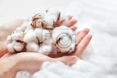 Bild White cotton flowers in the hands