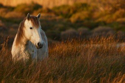 Bild White horse of Camargue