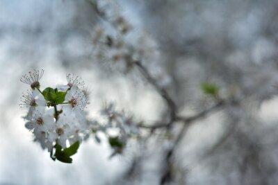 Bild White spring flowers