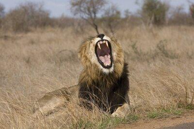 Bild wild male lion yawning in the bush
