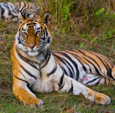 Bild Wild Tiger auf dem Rasen. Indien. Bandhavgarh Nationalpark. Madhya Pradesh. Eine ausgezeichnete Illustration.