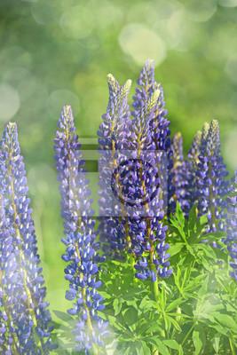 Bild Wilde Lupinen Blumen im Detail