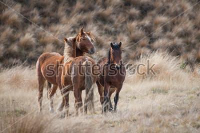 Bild Wilde Pferde Kaimanawas mit den Ohren oben