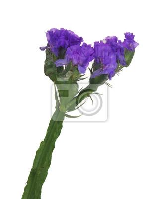 Bild Wilden Kleinen Dunkellila Blüten Isoliert