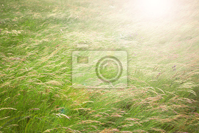 Windy yellow green color meadow grass.