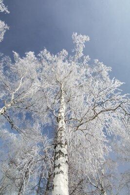 Bild Winter Birken Wald