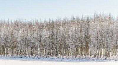 Bild Winterliche Birken in Finnland