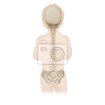 Wirbelsäule, anatomie leinwandbilder • bilder Kreuzbein, Wirbelsäule ...
