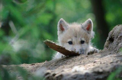 Bild wolf cub