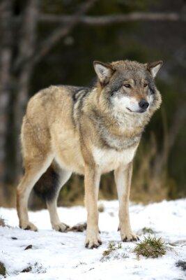 Bild Wolf Stehen in der Kälte Winterwald