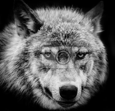 Bild Wolfaugen ein schwarz-weißer Kopfschuß eines grauen Wolfs.