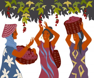 Bild Women with basket pick coffee beans from the bush on plantation, image for cafe and packaging. Coffee harvest gatherers in work flat cartoon vector illustration isolated on white background.