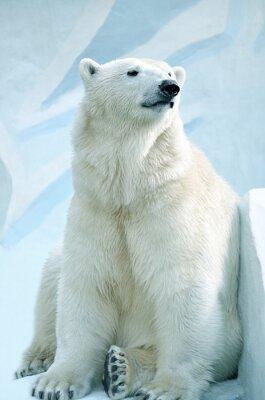Bild Полярный медведь.