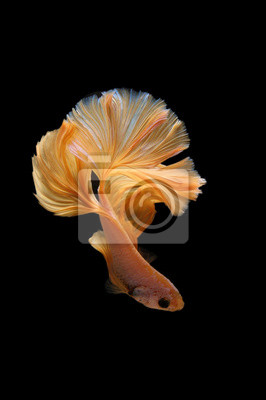 Bild Yellow gold color of Siamese fighting fish betta Thailand fish movement on background