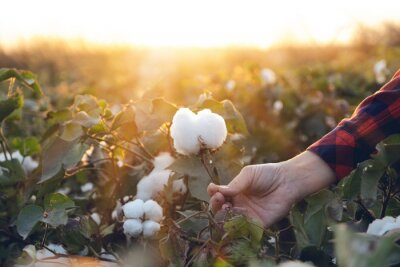 Bild Young farmer woman harvests a cotton cocoon in a cotton field. The sun goes down in the background.