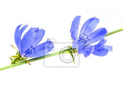 Bild Zichorie Blume