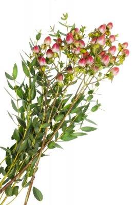 Bild Zierpflanze mit roten Knospen