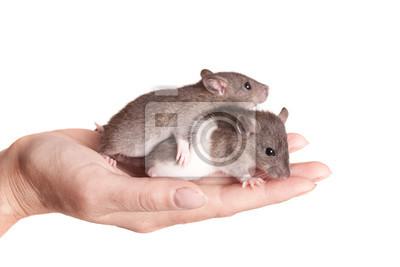 Bild Zwei Baby Ratten