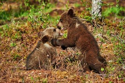 Bild Zwei braune Bärenjunge