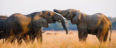 Bild Zwei Elefanten spielen mit einander. Sambia. Unteren Zambezi Nationalpark. Zambezi River. Eine ausgezeichnete Illustration.