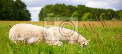 Zwei erwachsene Schafe weiden in einem Maiensäss