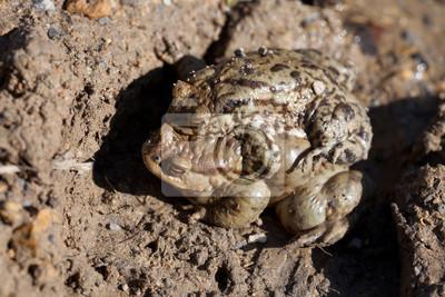 Zwei Kröten im Frühjahr des Geschlechts