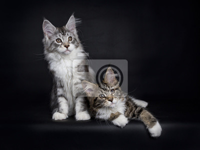 Zwei Maine Coon Kätzchen Verlegung / Sitzung isoliert auf schwarzem Hintergrund
