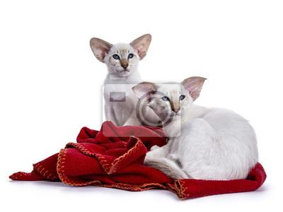 Zwei Siames Kätzchen legen sich entspannt auf eine rote Decke, die zur Seite schaut