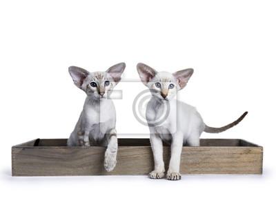 Zwei siamesische Kätzchen sitzen / stehen in hölzernem rechteckigem Tablett