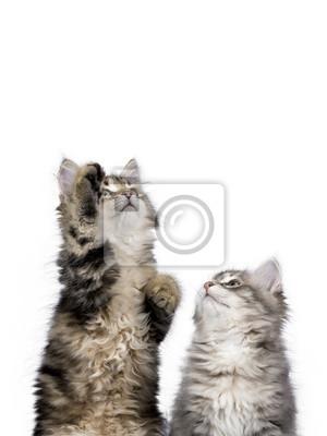 Zwei Sibirien Wald Katze / Kätzchen erreichen / suchen bis isoliert auf weißem Hintergrund