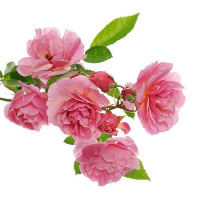 Bild Zweig der rosa Kletterrose