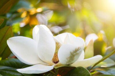 Bild Zweig mit einer Blume einer weißen Magnolie close up
