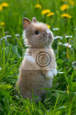 Zwergkaninchen Leinwandbilder Bilder Osterhase Nagetier Kaninchen Myloview De