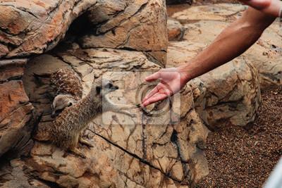 Fototapete 2 meerkats on guard Australia zoo touching