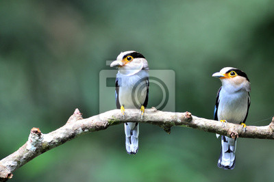 2 Vogel Broad (Silber-breasted Broadbill)