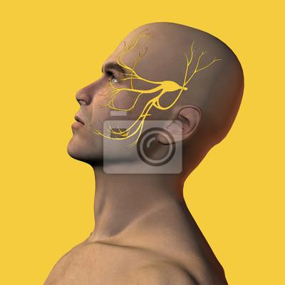 3d abbildung der männlichen gesicht mit trigeminus nerv fototapete ...