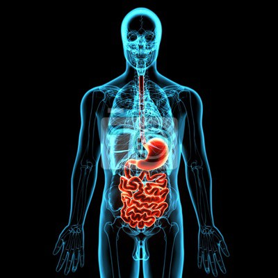 3d abbildung der menschlichen körper organ (digenative system ...