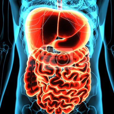 3d abbildung der menschlichen körper organ (verdauungssystem ...