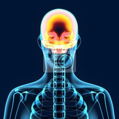 3d abbildung der menschlichen körper schädel anatomie fototapete ...