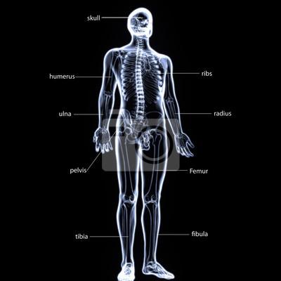 3d abbildung der menschlichen körper skelett anatomie fototapete ...