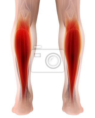 3d abbildung von gastrocnemius, teil der beine muskel anatomie ...