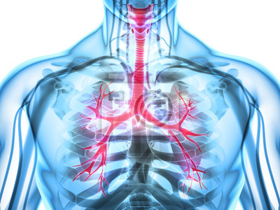 3d abbildung von larynx trachea bronchi. fototapete • fototapeten ...