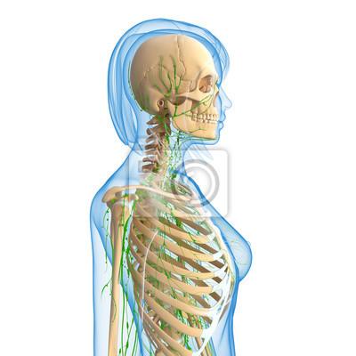 3d-anatomie der weiblichen lymphsystem fototapete • fototapeten ...