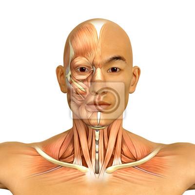 3d asiatischen männlichen modell gesicht und hals muskeln anatomie ...