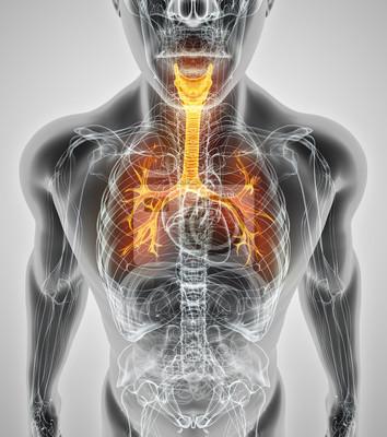 3d darstellung der larynx trachea bronchi. fototapete • fototapeten ...