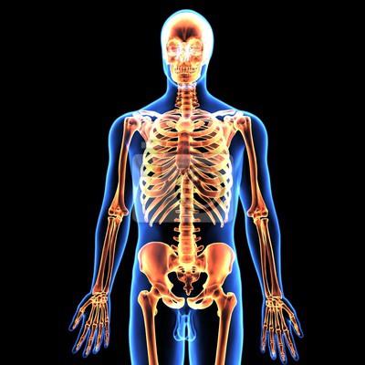 3d-darstellung des menschlichen körpers skelett anatomie fototapete ...