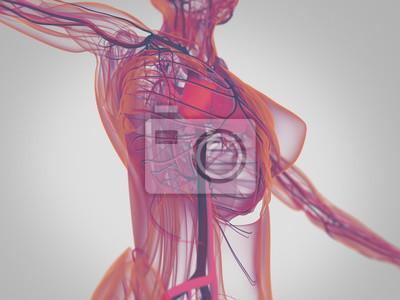 3d darstellung, vaskulär, system, herz, menschlich, gesundheit ...